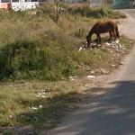 Horse eating trash