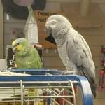 African Grey Parrot and an Amazon Parrot